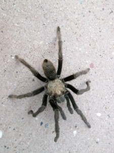 Photo of tarantula in Zion National Park